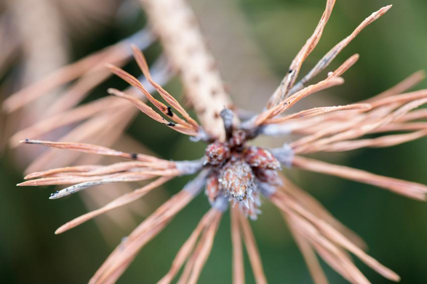 Svampen Diploida pinea angriper barr, skott och kottar. På kottar och angripna skott bildas svarta millimeterstora fruktkroppar som kan sprida de smittsamma sporerna vidare.  Foto: Patrik Söderman