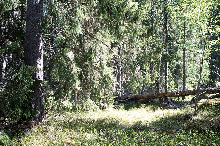 Ett hundraårigt bestånd som får växa i ytterligare 30 år innan det avverkas bidrar under denna tid med livsmiljöer som är mycket värdefulla för den biologiska mångfalden i skogslandskapet.