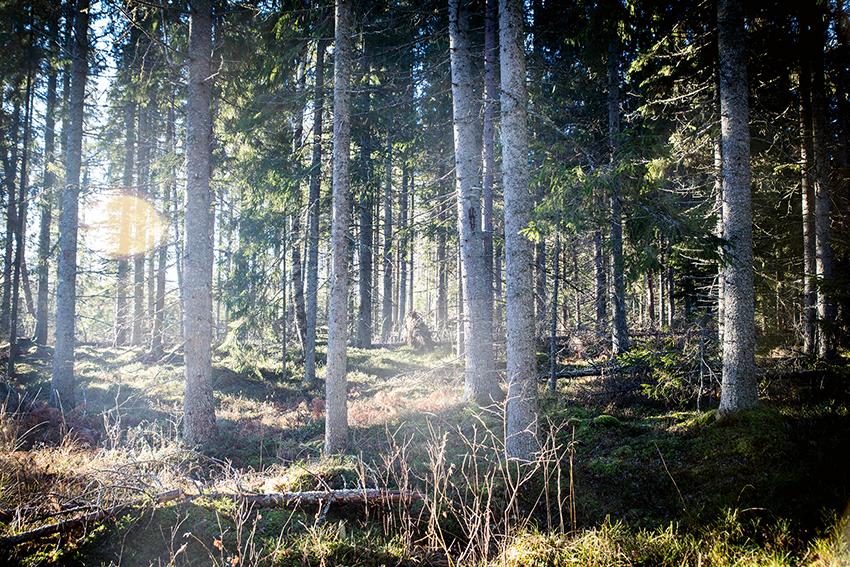 Klimatförändringar inverkar på våra nordliga granskogar inte bara genom att påverka träden, utan även indirekt genom att påverka svampar och bakterier som lever i symbios med träden. Foto: Per Eriksson