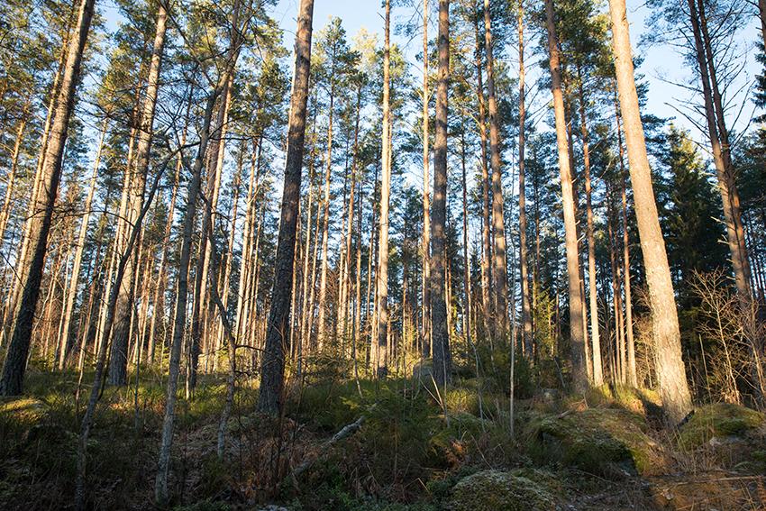billerud_skog