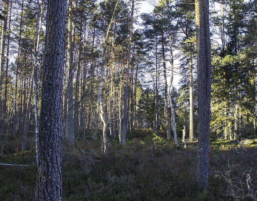 Sveriges skogsägare är optimistiska och ser skogen som en långsiktig investering och tack vare stigande priser och ökad efterfrågan är skogskonjunkturen god. Foto: Per Eriksson