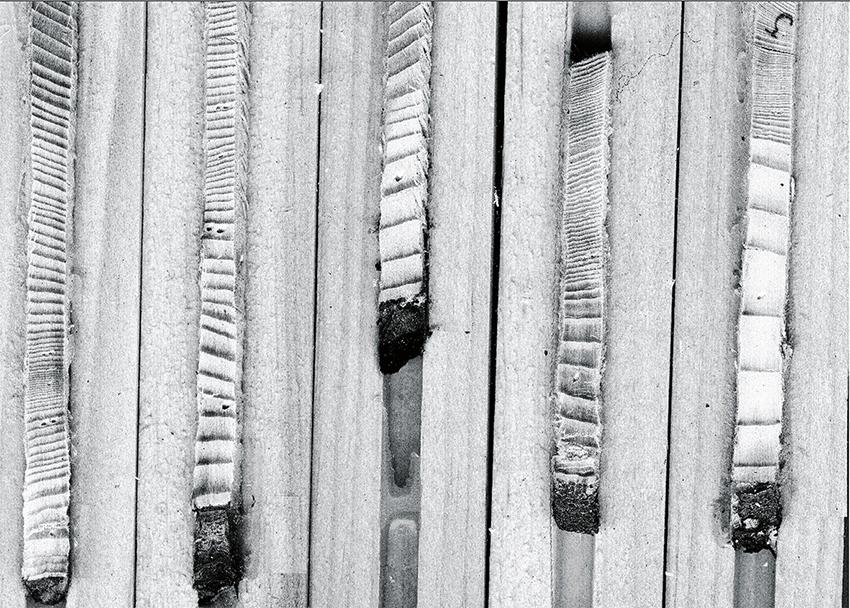Årsringarna i en borrkärna avslöjar trädets tillväxthistorik.