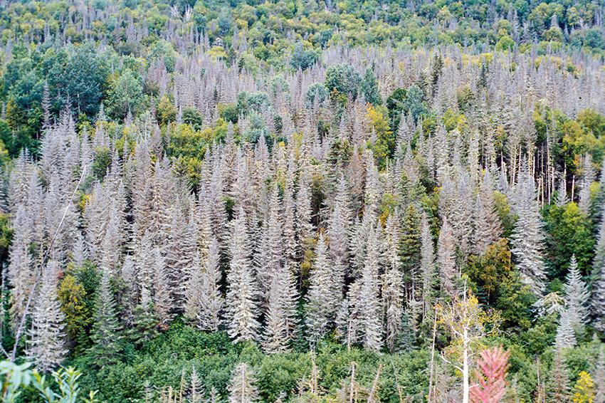 Barrskog under en massförekomst av Choristoneura fumiferana. North-Shore, Quebec, Kanada, 2017. Foto: Miguel Montoro Girona