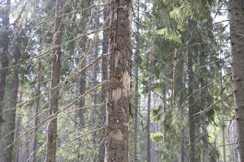 Granbarkborren har nu börjat sin huvudsvärmning i hela landet. Det visar Skogsstyrelsens svärmningsövervakning .  På grund av den torra och varma sommaren förra året uppskattas granbarkborren ha förstört 3-4 miljoner kubikmeter skog värt miljardbelopp. Foto: Per Eriksson
