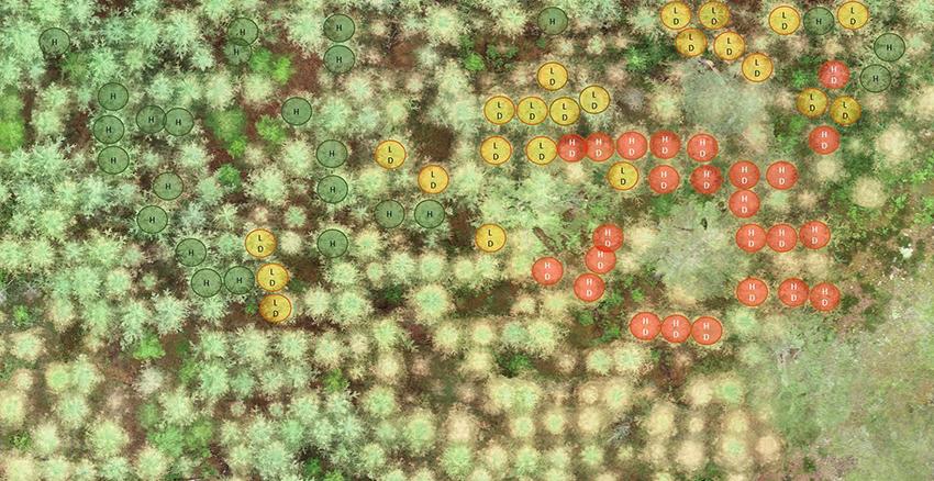 Med hjälp av drönarbilder görs märkningar på trädnivå för att lära modellen att identifiera alla lärkträd och klassificera dem som friska eller skadade. Illustration: Skogsstyrelsen