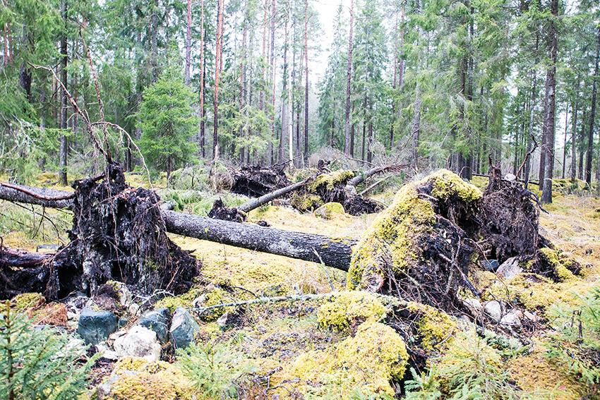 Träd som föll i stormen ökar risk för granbarkborre. Stormen som passerade södra Sverige den 9 februari orsakade inte några större skador. Men de spridda träd som ändå fallit riskerar att öka angreppen av skadeinsekten granbarkborre och behöver därför tas ut ur skogen. Foto: Per Eriksson